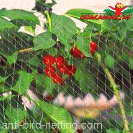 Anti bird netting protecting cherries
