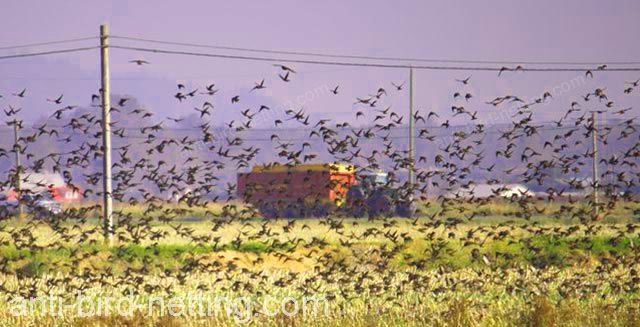 birds having a field day over grain crops